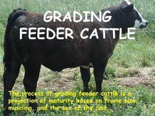 GRADING FEEDER CATTLE