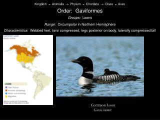 Kingdom    Animalia    Phylum    Chordata    Class    Aves