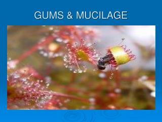 gums  mucilage