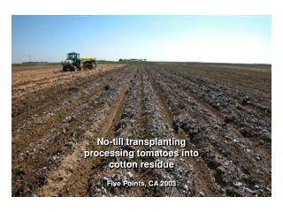 no-till transplanting processing tomatoes into  cotton residue   five points, ca 2003