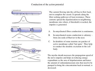 Conduction of the action potential