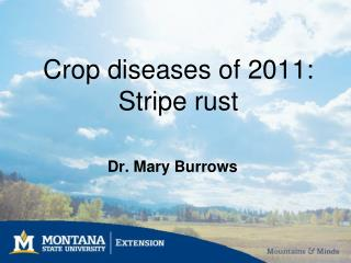 Crop diseases of 2011:  Stripe rust