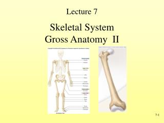 Skeletal System Gross Anatomy  II