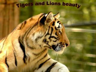 Tigers and Lions beauty
