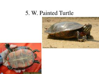 5. W. Painted Turtle