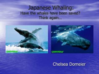 Japanese Whaling: Have the whales have been saved Think again