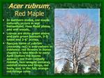 Acer rubrum;  Red Maple