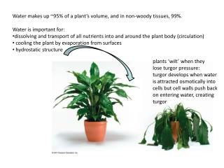 Water makes up 95 of a plant s volume, and in non-woody tissues, 99.  Water is important for: dissolving and transport o