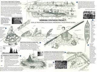 THE CULTURAL SIGNIFICANCE OF HERRING Pacific Herring Clupea pallasii and herring habitat, like Sitka s famous Herring Ro