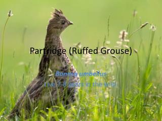 Partridge Ruffed Grouse