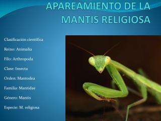 APAREAMIENTO DE LA MANTIS RELIGIOSA