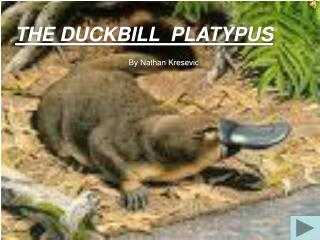 the duckbill  platypus