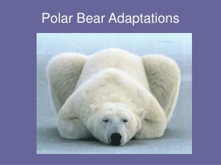 polar bear adaptations