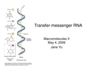 Transfer-messenger RNA