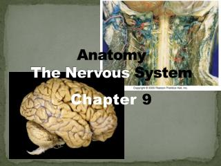 Anatomy The Nervous System