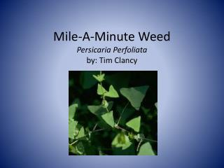 Mile-A-Minute Weed Persicaria Perfoliata by: Tim Clancy