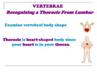 Examine vertebral body shape