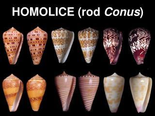 HOMOLICE rod Conus