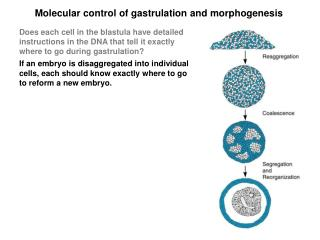 Molecular control of gastrulation and morphogenesis