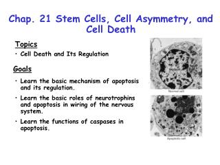 Chap. 21 Stem Cells, Cell Asymmetry, and Cell Death