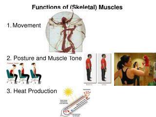 Functions of Skeletal Muscles