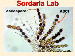 Sordaria Lab