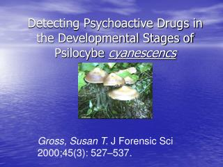 Detecting Psychoactive Drugs in the Developmental Stages of Psilocybe cyanescencs