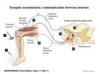 Synaptic transmission: communication between neurons