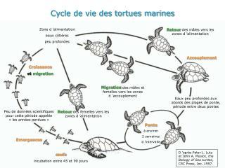 Cycle de vie des tortues marines