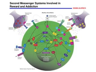 Second Messenger Systems Involved in  Reward and Addiction