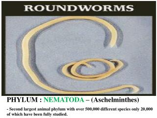 PHYLUM : NEMATODA   Aschelminthes  - Second largest animal phylum with over 500,000 different species only 20,000 of whi