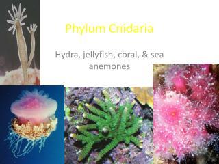 Phylum Cnidaria