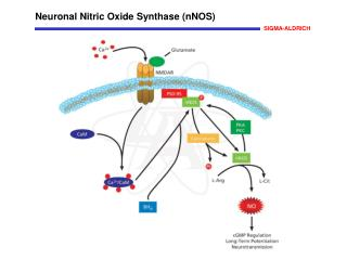 Neuronal Nitric Oxide Synthase nNOS