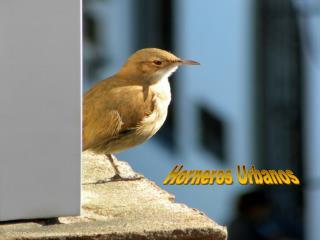 En Uruguay estamos acostumbrados a ver nidos de Hornero por doquier; la singularidad de  ste es que lo construyeron en u
