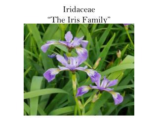 Iridaceae   The Iris Family