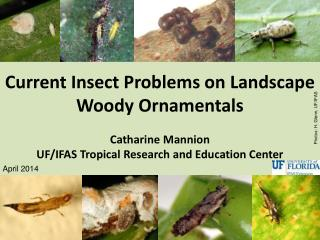 Current Insect Problems on Landscape Woody Ornamentals Catharine Mannion UF/IFAS Tropical Research and Education Center
