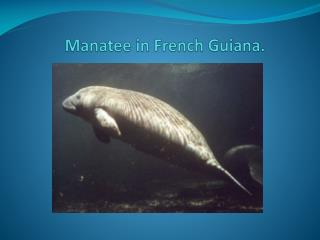 Manatee  in French  Guiana .