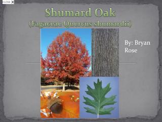 Shumard  Oak ( Fagaceae Quercus shumardii )
