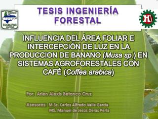 INFLUENCIA DEL ÁREA FOLIAR E INTERCEPCIÓN DE LUZ EN LA PRODUCCION DE BANANO ( Musa sp. ) EN SISTEMAS AGROFORESTALES CON