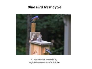Blue Bird Nest Cycle