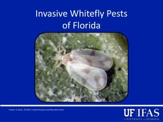 Invasive Whitefly Pests  of Florida