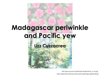 Madagascar periwinkle and Pacific yew
