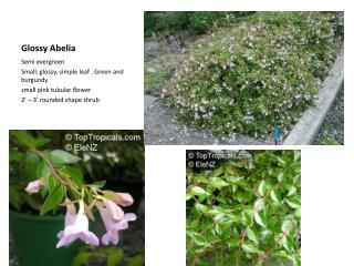 Glossy  Abelia