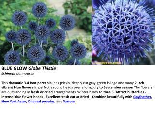 BLUE GLOW  Globe Thistle Echinops bannaticus