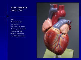 heart model i anterior view
