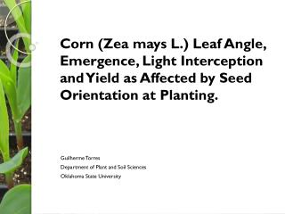 Corn ( Zea mays  L.) Leaf Angle, Emergence, Light Interception     and Yield as Affected by Seed Orientation at Plantin