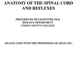 anatomy of the spinal cord and reflexes
