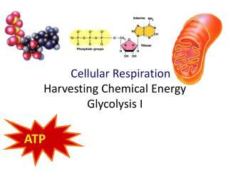 Cellular Respiration Harvesting Chemical  Energy Glycolysis  I