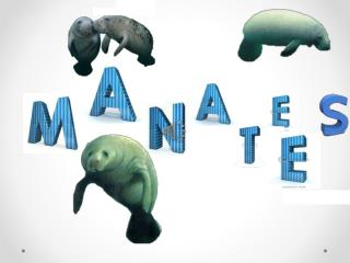 Many Manatees die each year because of… Pollution Cold weather (which gives them the Flu) Red tide (plankton that poiso