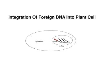 Integration Of Foreign DNA Into Plant Cell